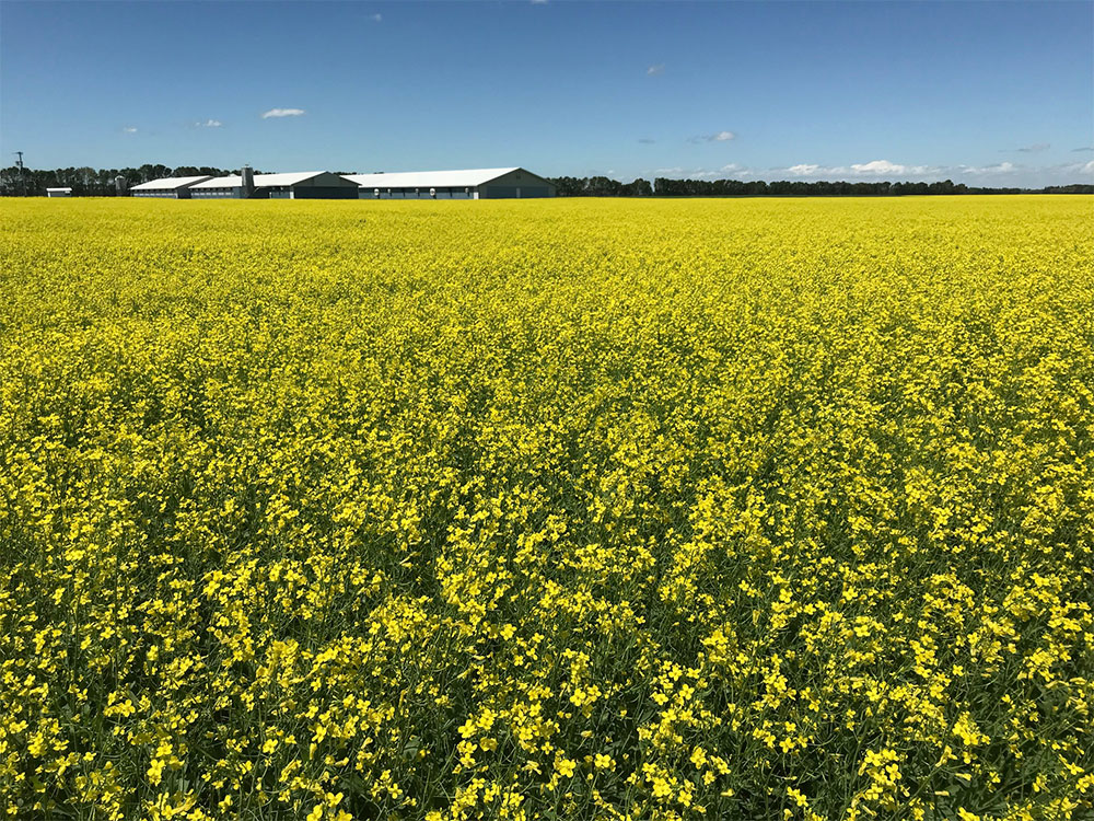 Products-Canola