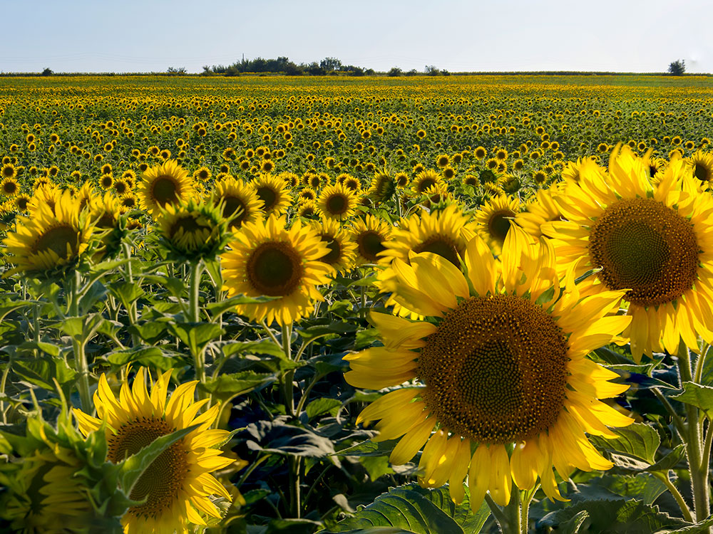 Products-Sunflowers