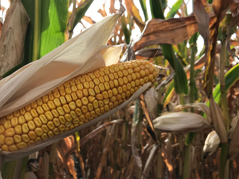 Products > DuPont Pioneer > Silage Corn